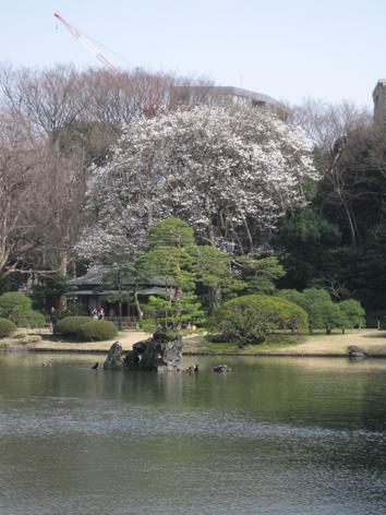 kobushi2.jpg